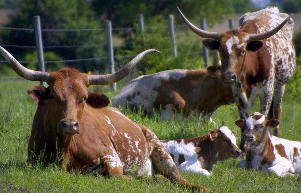 lornhorn-cattle-in-field
